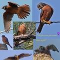 Photo collage birds
